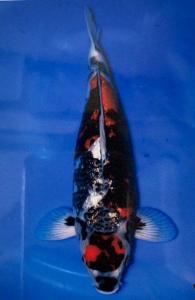 0124-Ginrin Showa 58 cm