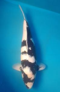 0317-Fredy suryadi sukabumi- starskoi BDG-shiro utsuri 59cm fimale