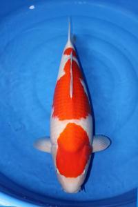 0698-Dede Darmawan - Jakarta - JDKC - Kohaku - 65cm - Female