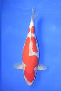 0655-jakarta koi center-jakarta-jakarta koi center-jakarta-doitsu-54cm F