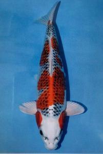 0129-Kujaku 60 cm