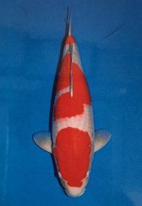 0127-Kohaku 55 cm