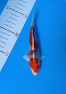 0192-yoyok b - kediri - KKC - kediri - hikari moyomono 15cm