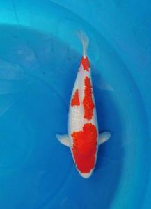 0121-Ginrin Kohaku 55 cm