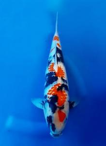 0544-Taufan-semarang-bless koi centre-kawarimono-40cm
