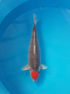 0204-Christianto - Surabaya - Tomodachi - Bogor - Tancho - 63cm - Female