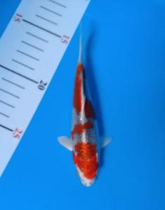 0193-Yoyok b - kediri - KKC - kediri - hikari moyomono 15cm.